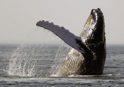 A humpback whale breaches on Stellwagen Bank about 25 miles east of Boston