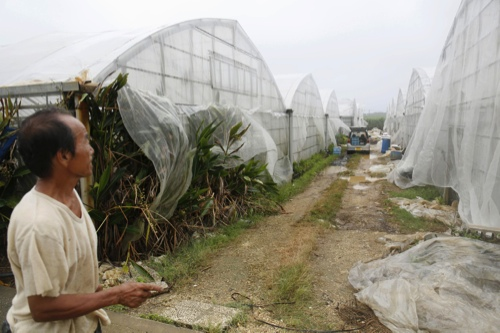 A resident makes the rounds of his greenhouse of mango amid strong winds in Miyakojima, Okinawa, southern Japan