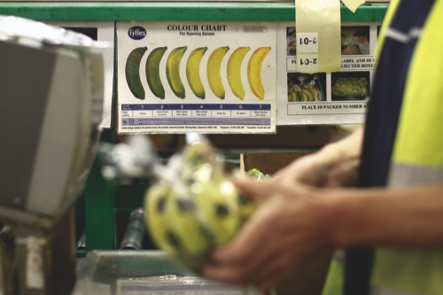 Banana Operations At Fyffes Plc Fruit Ripening And Distribution Center