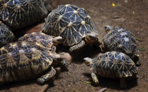 Indian star tortoises huddle together at the Bannerghatta National Park on the outskirts of Bangalore, India
