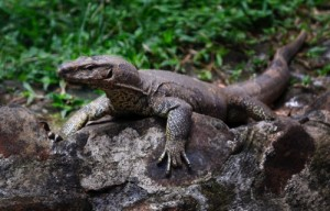 A monitor lizard sits at the Bannerghatta National Park in Bangalore