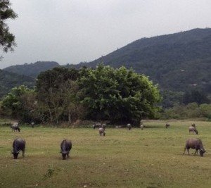 This March 2011 photo shows water buffalo grazing on Lantau Island, about an hour by ferry from Hong Kong