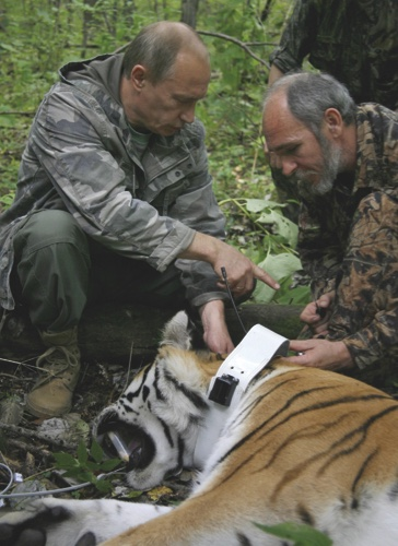 In this file photo taken on Sunday, Aug. 31, 2008, Russia's then Prime Minister Vladimir Putin locks a collar with a satellite tracker on a tranquilized five-year-old Ussuri tiger in a Russian Academy of Sciences reserve in Russia's Far East