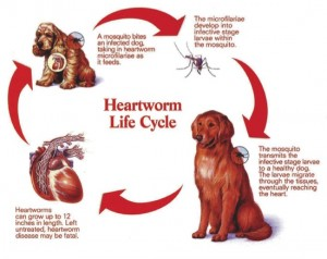 Dogs-Heartworm-Disease1