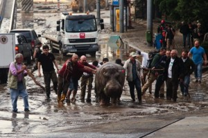 A Sunday, June 14, file photo of people assisting a hippopotamus that has been shot with a tranquilizer dart after it escaped from a flooded zoo in Tbilisi