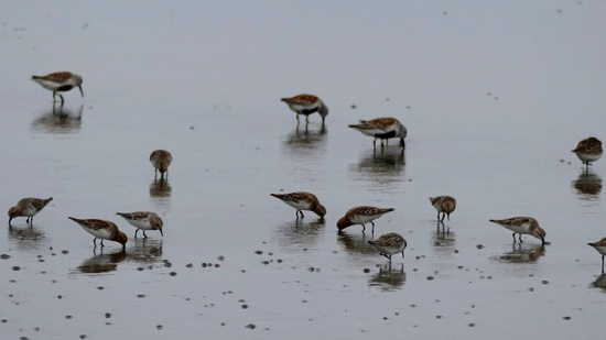 North Korea  As habitats vanish, migratory birds flock to Pyongyang's shores