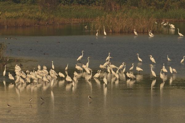 Migratory birds pictured in Macau (inlet photo: Chris Tai)