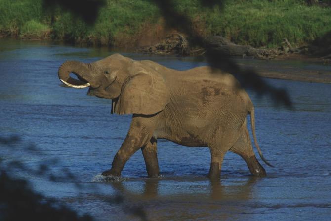 An elephant crosses a river in Samburu national park in Kenya