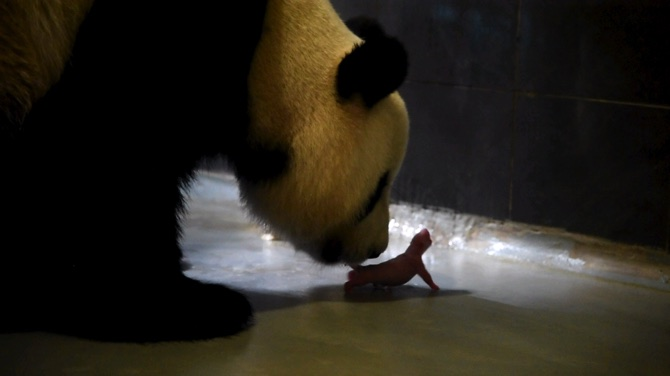The giant panda Xinxin and her first new-born cub