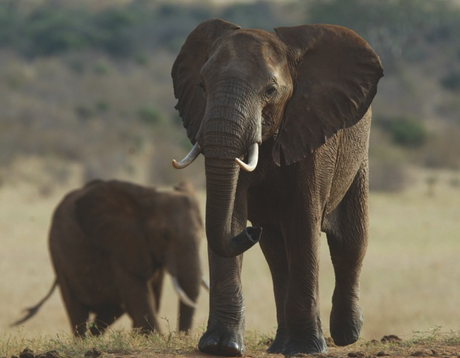 Kenya Elephants